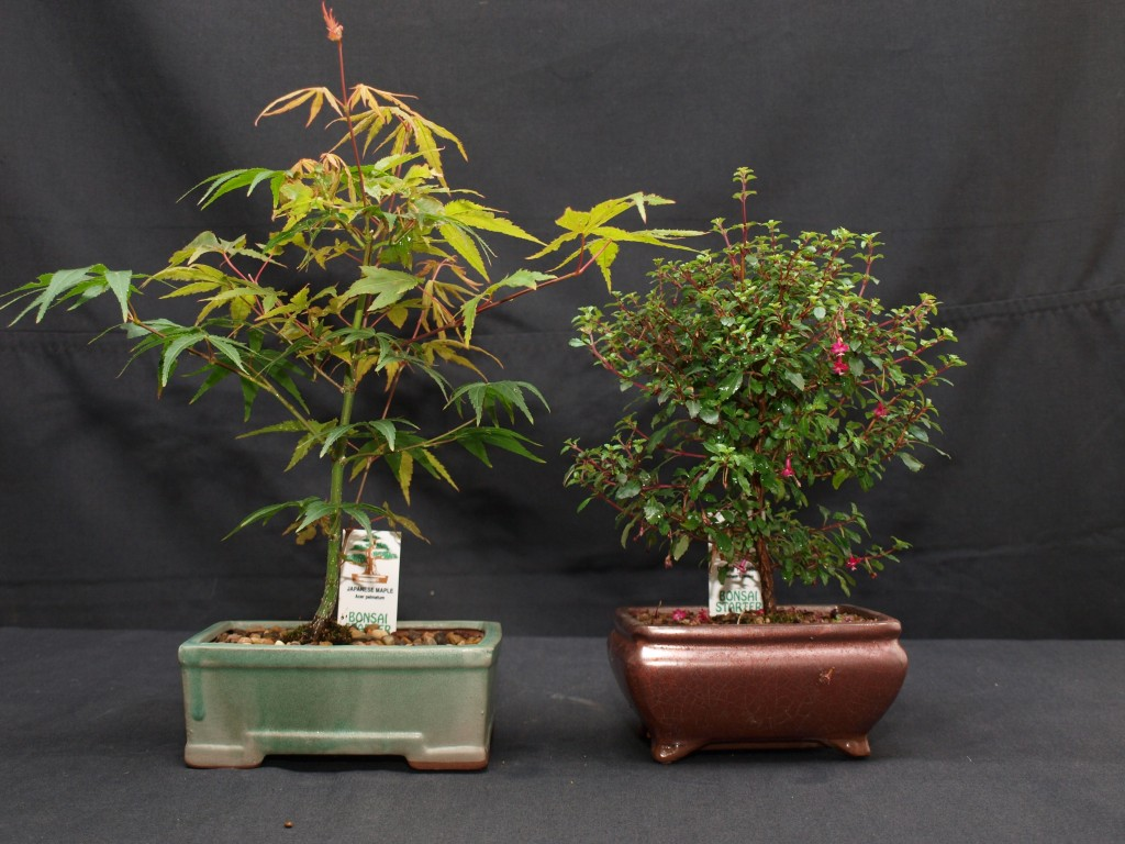 Bonsai a Perfect gift